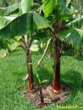 Musa Dwarf Red Banana