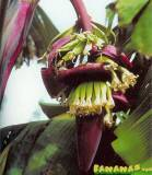 Musa Red Iholene Banana