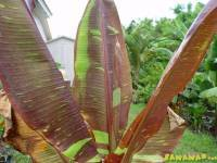 Musa Siam Ruby Red Banana
